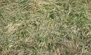 手強い雑草が繁茂・備中鍬の出番です。