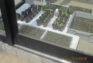南向きの風除室は育苗設備に最適
