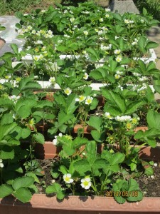 イチゴの花・満開・プランター栽培
