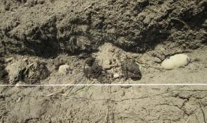 ジャガイモ植え付け・ゾウさん堆肥・ぼかし肥