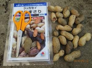 タキイのおおまさり・落花生播種