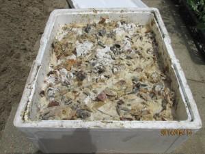 一冬漬けた生ゴミ・酵母菌