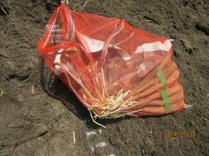 購入した長芋の根がいつのまにか伸び放題