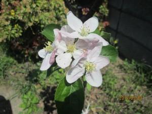 シナノゴールドの花