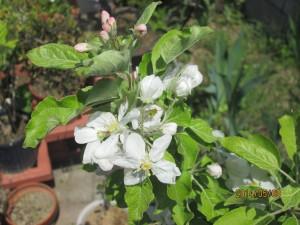 アルプス乙女の花