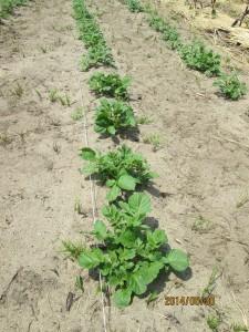 ジャガイモようやく成長