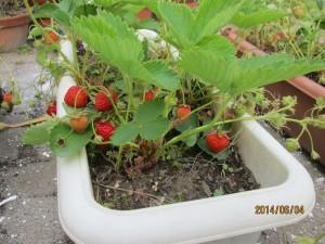 イチゴ豊作