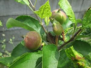 リンゴのシナノゴールド摘果前�