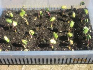 丹波黒大豆を緑化
