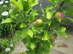 リンゴ・シナノゴールド摘果終了