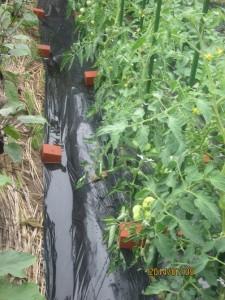 トマトの雨対策の効果