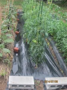 トマトの雨対策