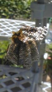 窓の蜂の巣の女王蜂